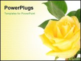 PowerPoint Template - One big shining yellow rose isolated on the white background. Image with space for text. .