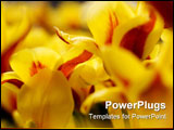 PowerPoint Template - Close up picture of yellow tulips stock photo
