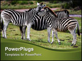 PowerPoint Template - Zebras meeting on the African grassy plains